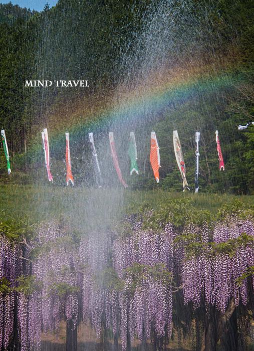 白井大町藤公園 藤と鯉のぼりと虹