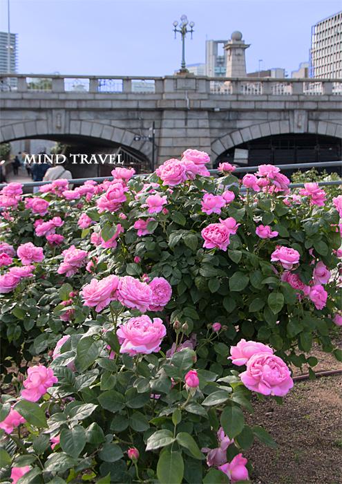 中之島薔薇園 ピンクの薔薇