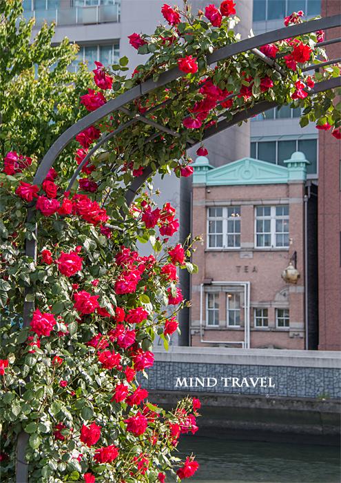 中之島薔薇園 赤薔薇とレトロビル