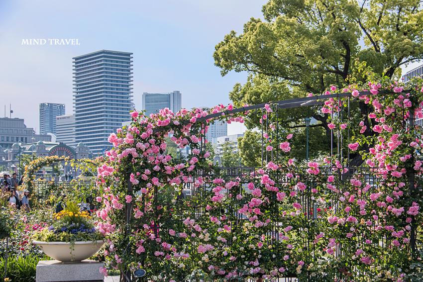 中之島薔薇園 ピンクの薔薇2