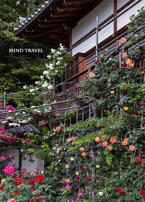 松尾寺 薔薇3