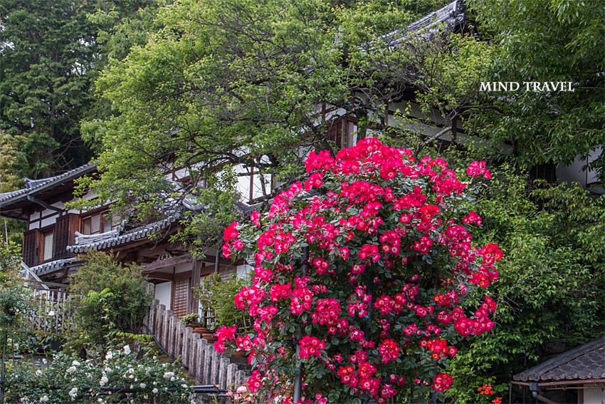 松尾寺 薔薇2