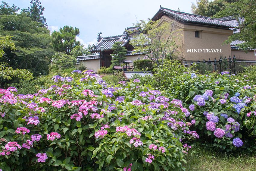 長弓寺 額紫陽花