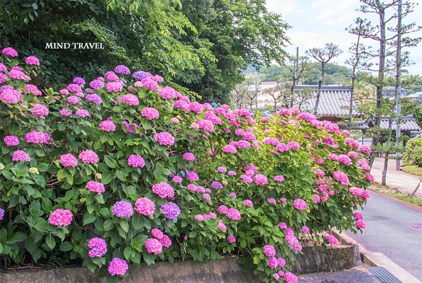 長弓寺 門 紫陽花