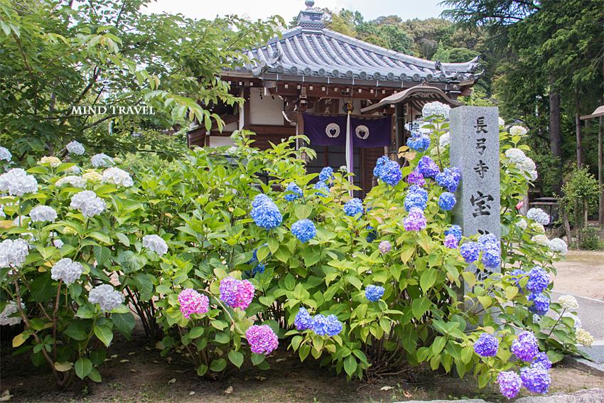 長弓寺 宝光院 紫陽花