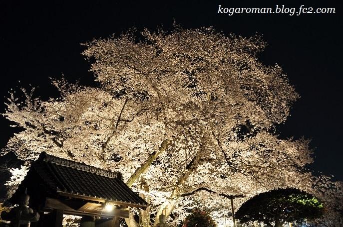 満福寺の桜4