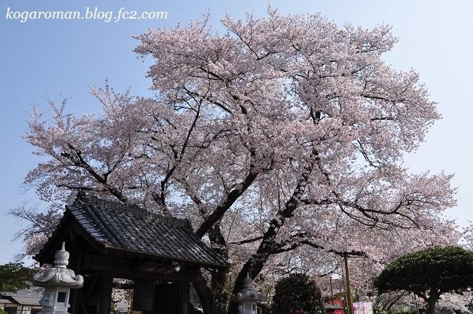 満福寺の桜3