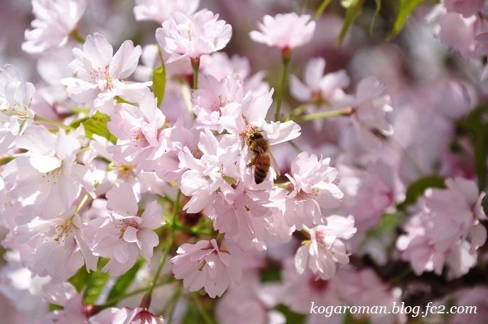 静御前墓所の静桜4