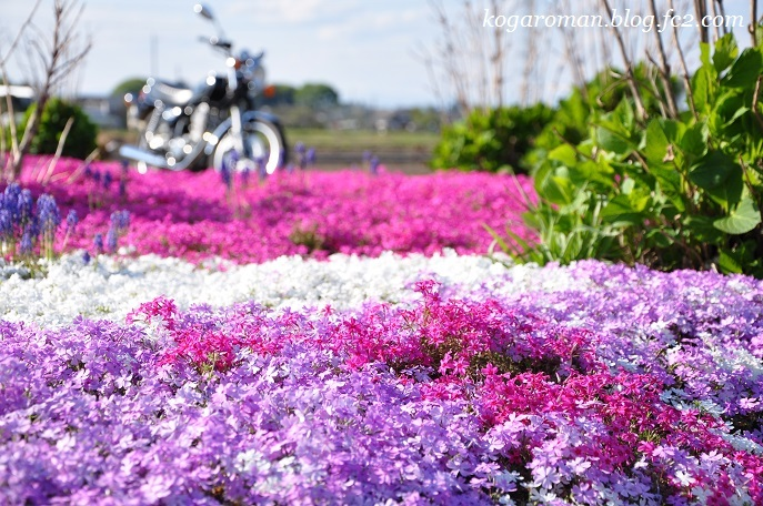 散歩道の芝桜4
