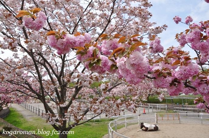 ネーブルパークの八重桜2