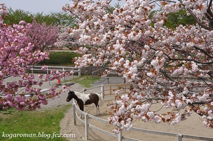 ネーブルパークの八重桜3