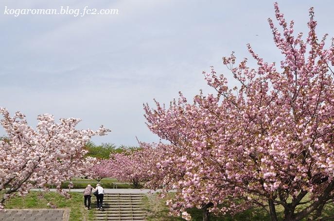 ネーブルパークの八重桜4