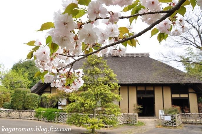 ネーブルパークの八重桜5