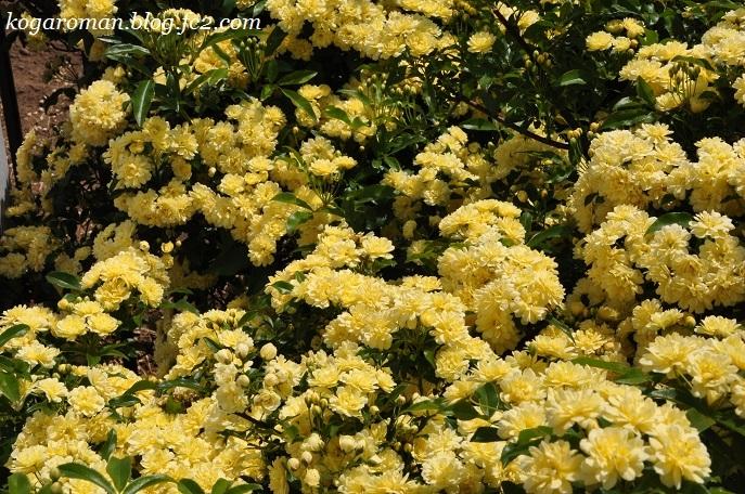 庭に咲くモッコウバラ2