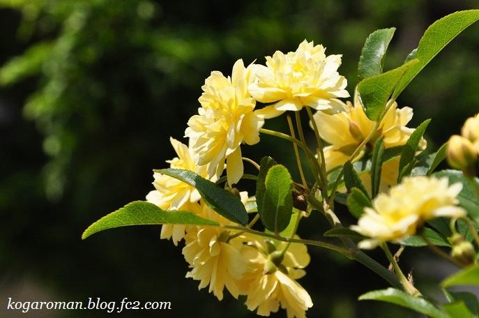 庭に咲くモッコウバラ