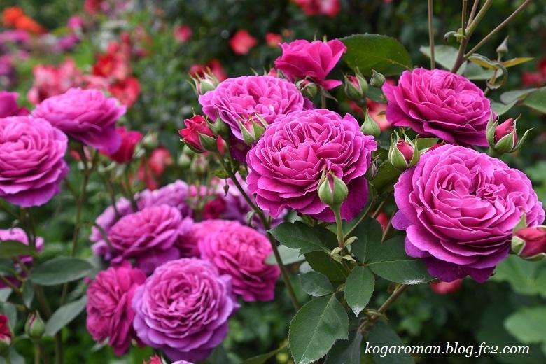 トレジャーガーデンのバラ2