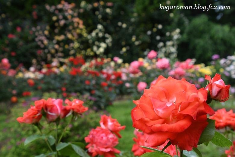 トレジャーガーデンのバラ5