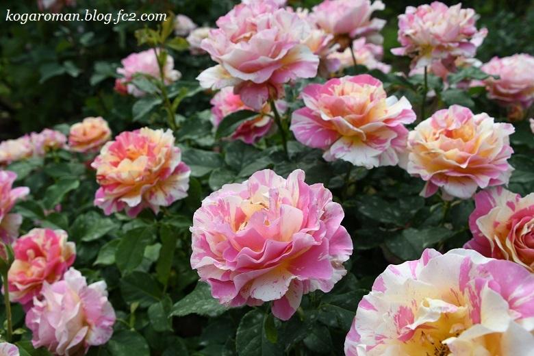 トレジャーガーデンのバラ6