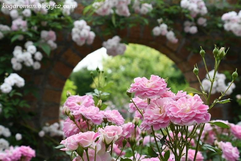トレジャーガーデンのバラ9