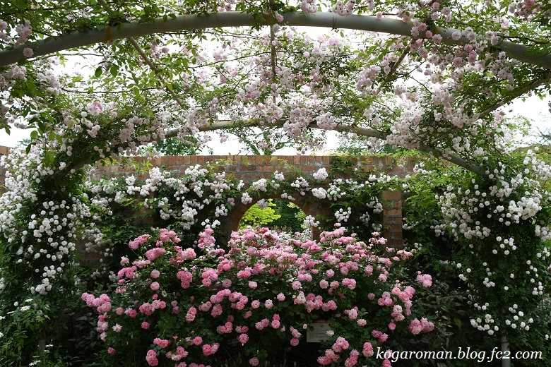 トレジャーガーデンのバラ10