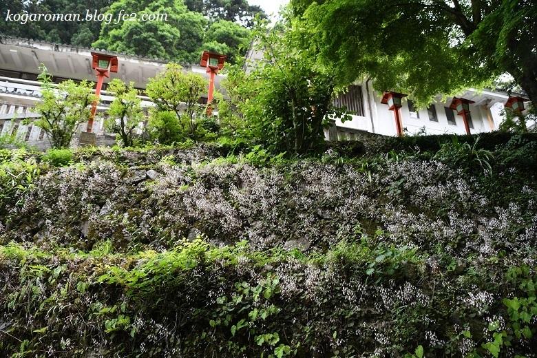 満願寺のユキノシタ