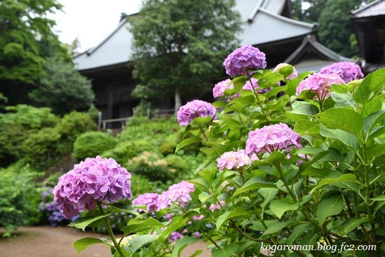 大中寺のアジサイ2