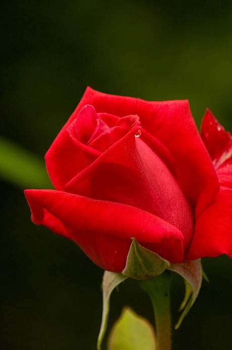 free-photo-rose-04.jpg
