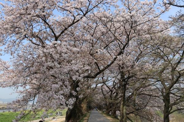 IMG_237520180403背割提の桜2
