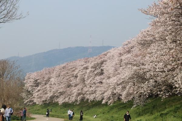 IMG_240020180403背割提の桜したから見るとキレイ