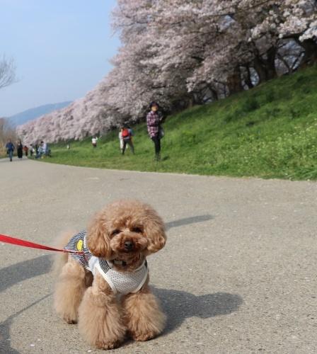 IMG_240820180403背割提の桜とコノたん