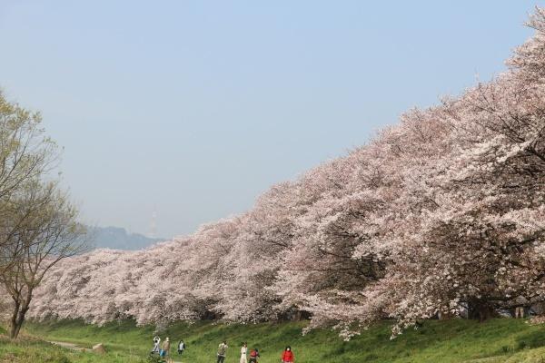 IMG_241320180403背割提の桜したから見るとキレイ2