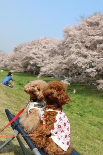 IMG_242920180403背割提の桜パパたん撮影2