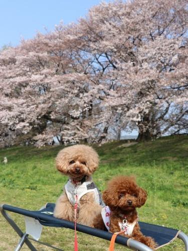 IMG_244120180403背割提の桜パパたん撮影3