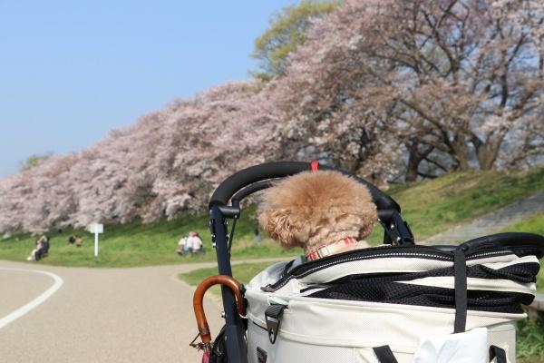 IMG_244420180403背割提の桜歩き疲れたコノたん1