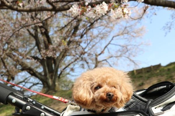 IMG_245220180403背割提の桜疲れたコノたん3