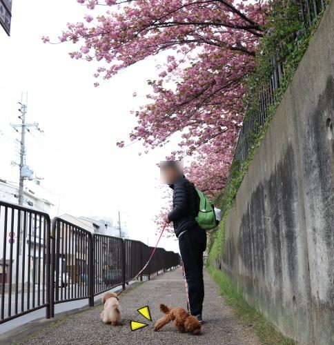 IMG_254420180408梅小路さんぽ道中1