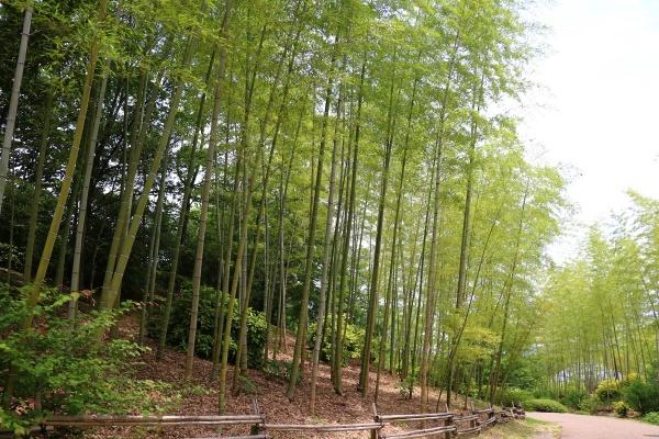 IMG_463120180527けいはんな記念公園竹林
