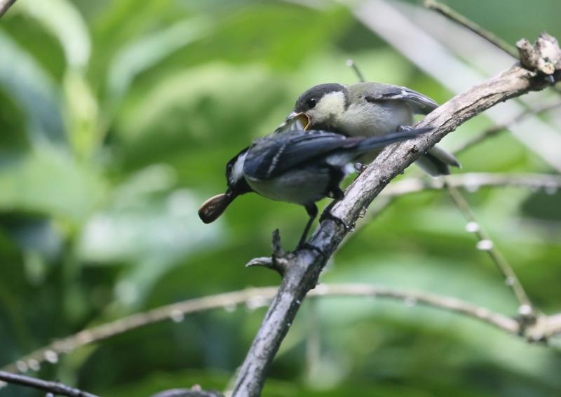 19日幼鳥⑦