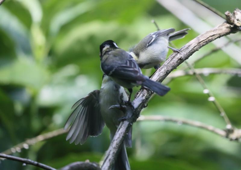 19日幼鳥⑨