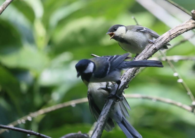19日幼鳥⑩