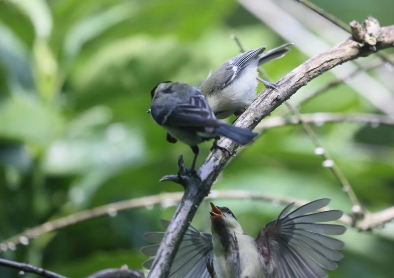 19日幼鳥⑧
