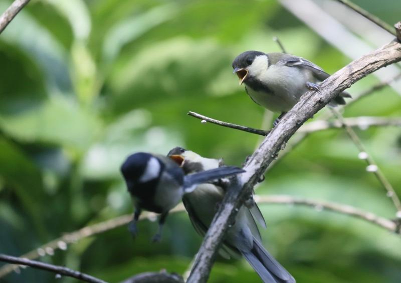 19日幼鳥⑪