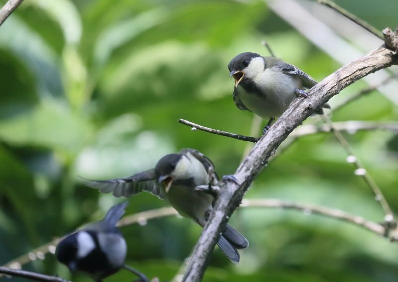 19日幼鳥⑬