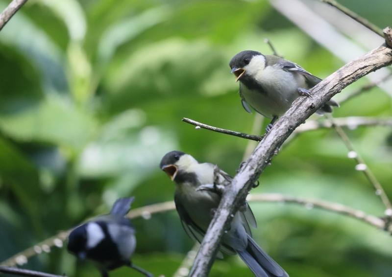 19日幼鳥⑫