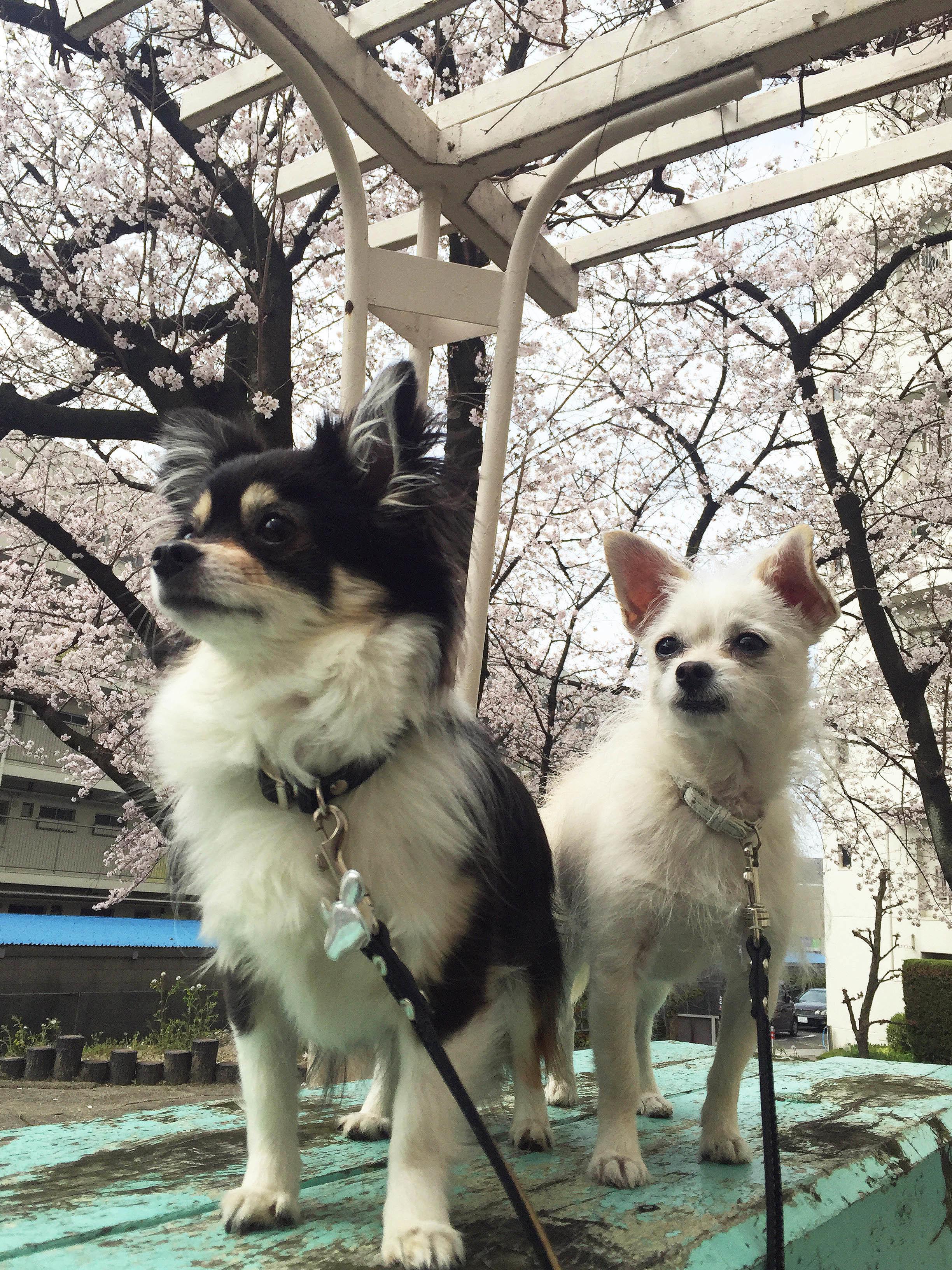 2016_sakura.jpg