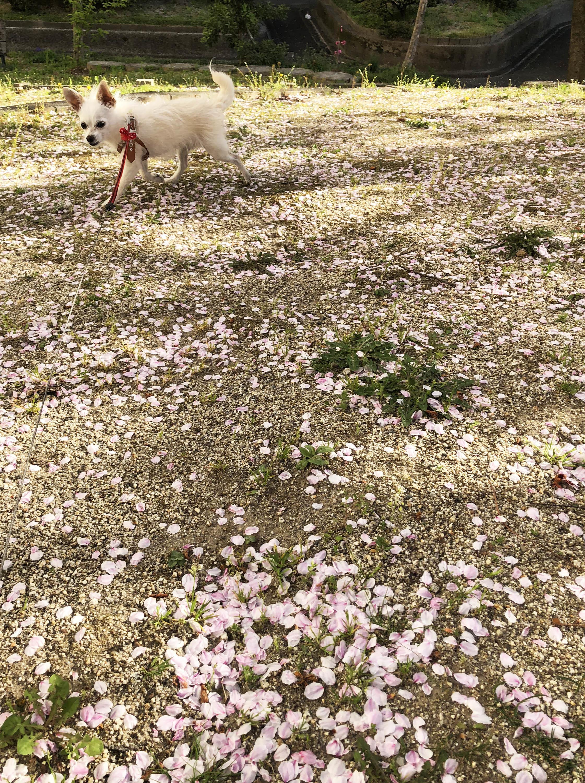 1804桜絨毯01