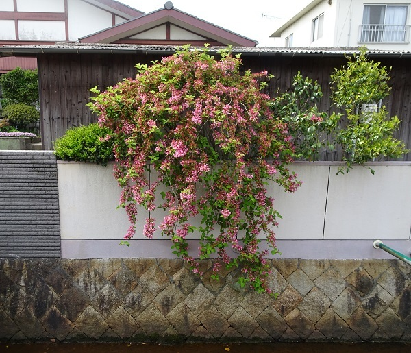 20卯の花20180427