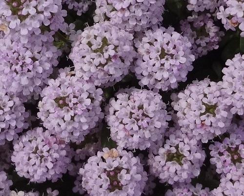 14タイム20180430中に芯があり3mmの花が60輪前後ついている、もふもふ