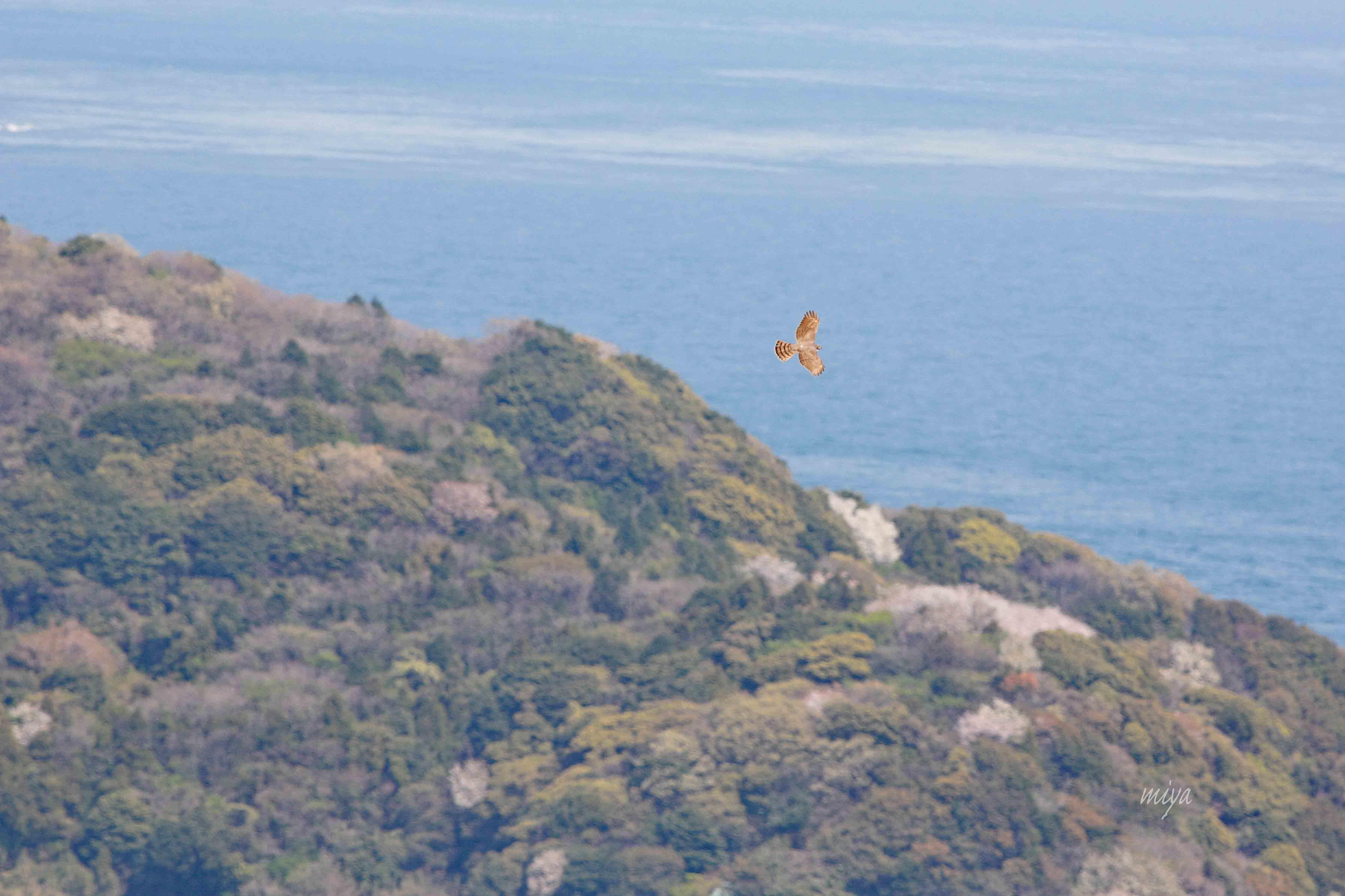 はいたか海山桜m032A7795