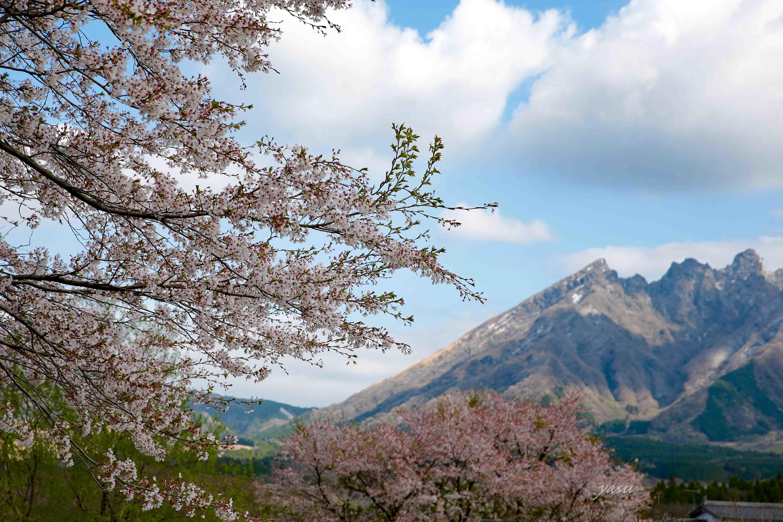 根子岳桜y032A8160